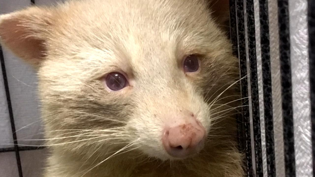 What Is Uber Black >> Rare Albino Raccoon May Be Shy but the Camera Loves Him ...