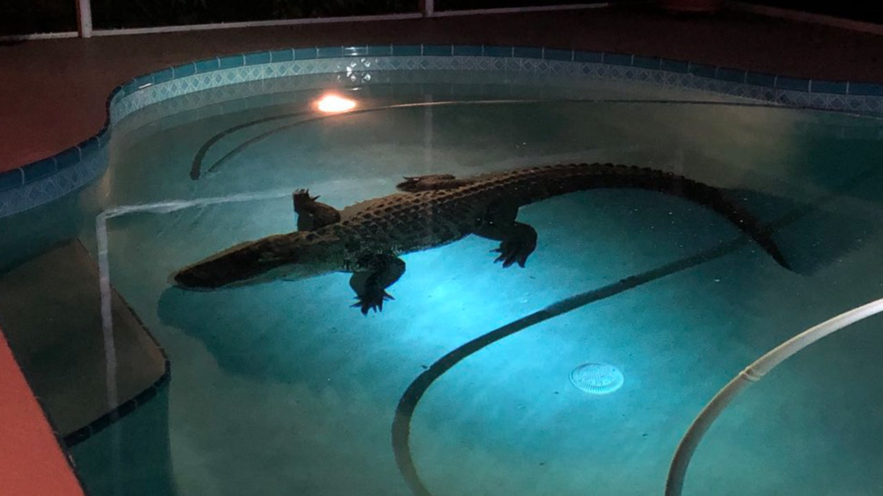 11 Foot Long Alligator Bursts Through Screen To Swim In Family 39 S Enclosed Pool Inside Edition