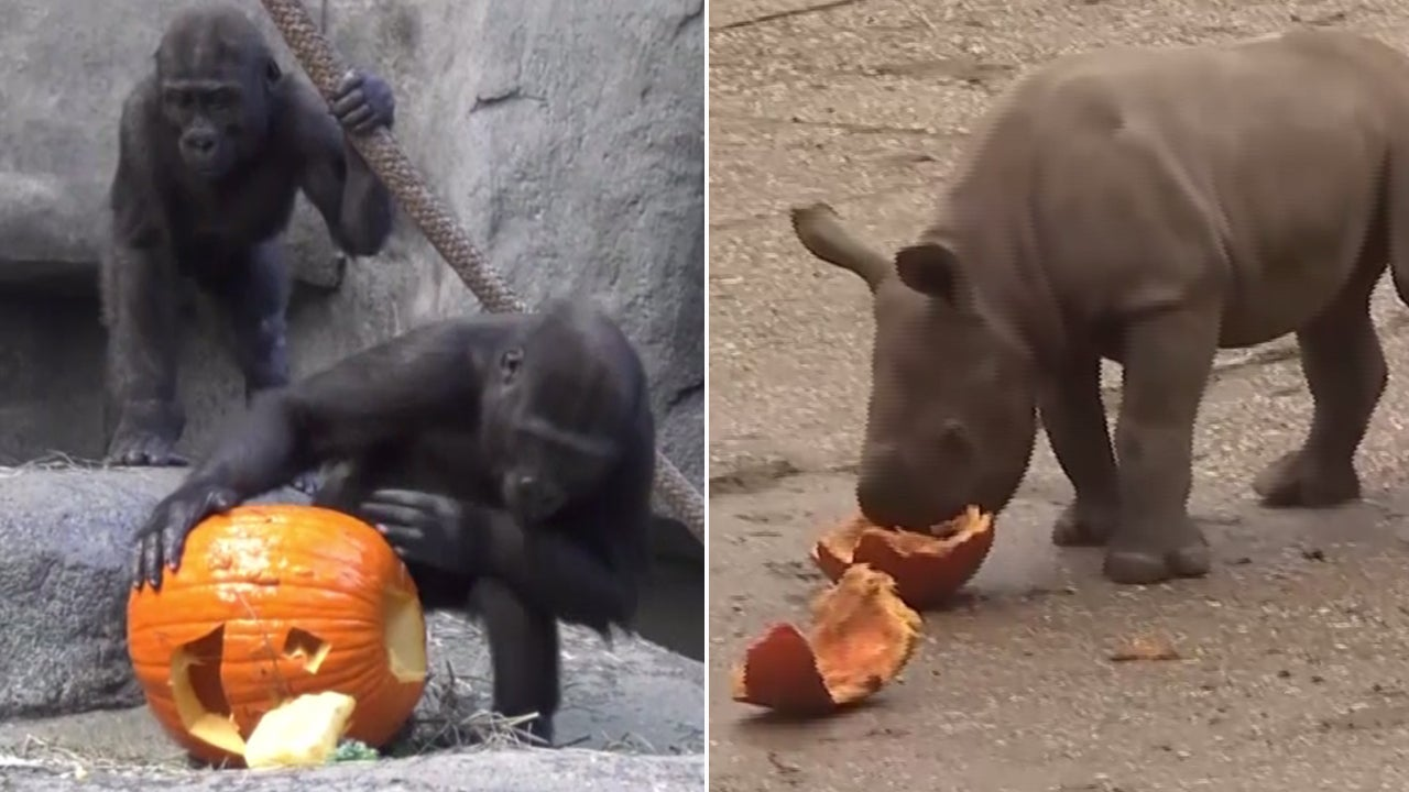 Adorable zoo animals celebrate halloween with tasty for Why do we celebrate halloween in america
