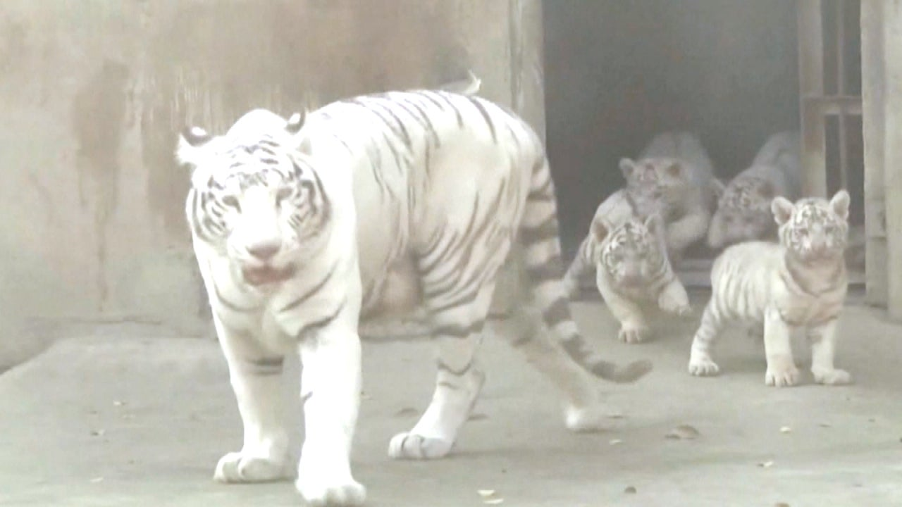 critically endangered and adorable baby white tigers debut in china