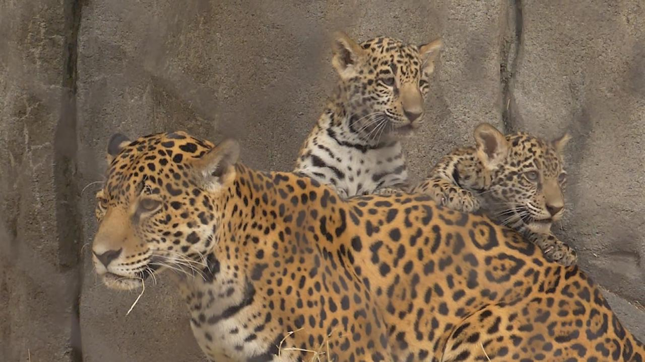 Houston Zoo Debuts Baby Jaguars For First Time in Over a ...
