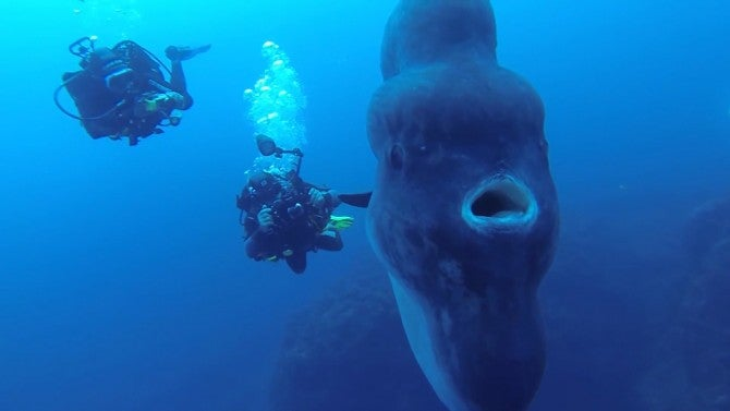 Divers Catch Rare Close Up Glimpse Of Giant Sunfish