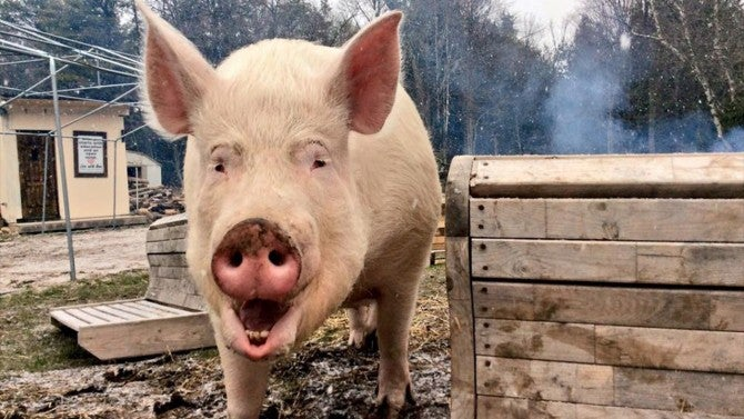 Meet Esther The Wonder Pig A Teacup Pig That Grew To 650 Pounds