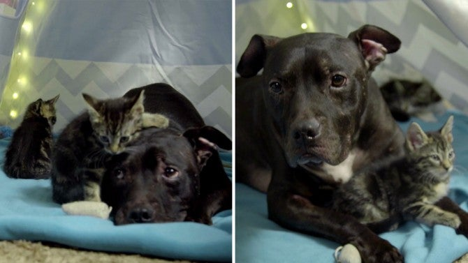 3-Legged Pit Bull Saved From Michael Vick's Dog Fighting