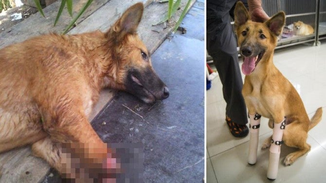 Dog Gets Prosthetics After Owner S Neighbor Cut Off His