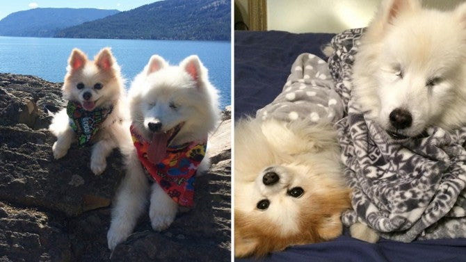 Blind Pooch Explores The World With Help Of Pomeranian Guide Dog
