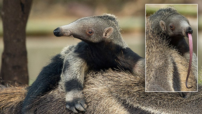 Newborn Giant Anteater Sticks Out His Long Tongue During ...