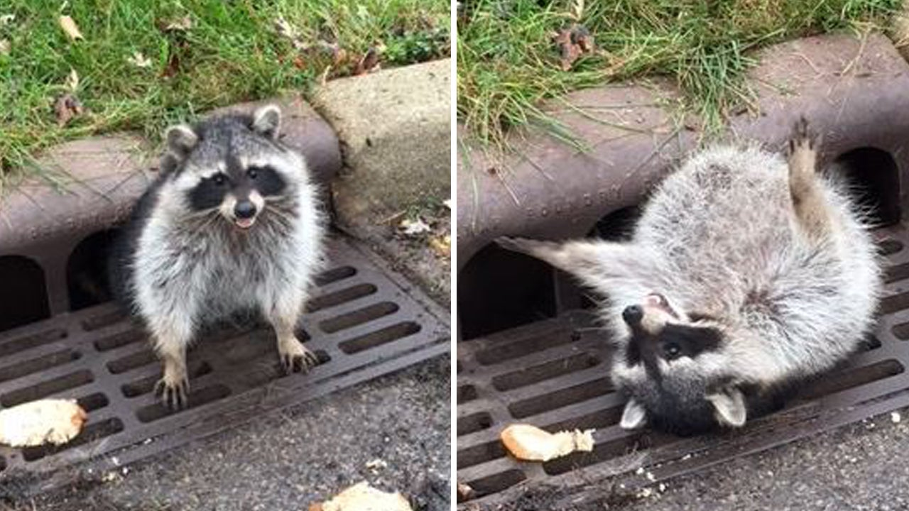 Police  Public Works Employees Work To Free Fat Raccoon Stuck In Sewer Grate
