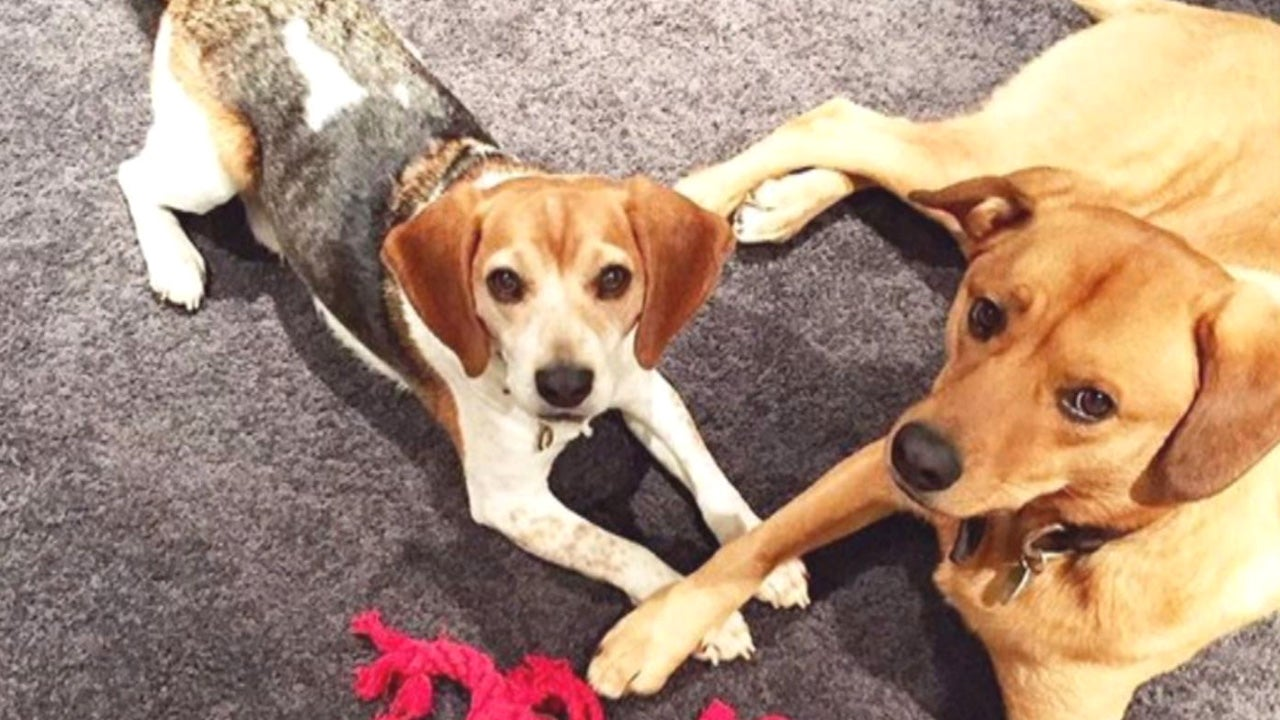 Beagle Rescue Dogs London