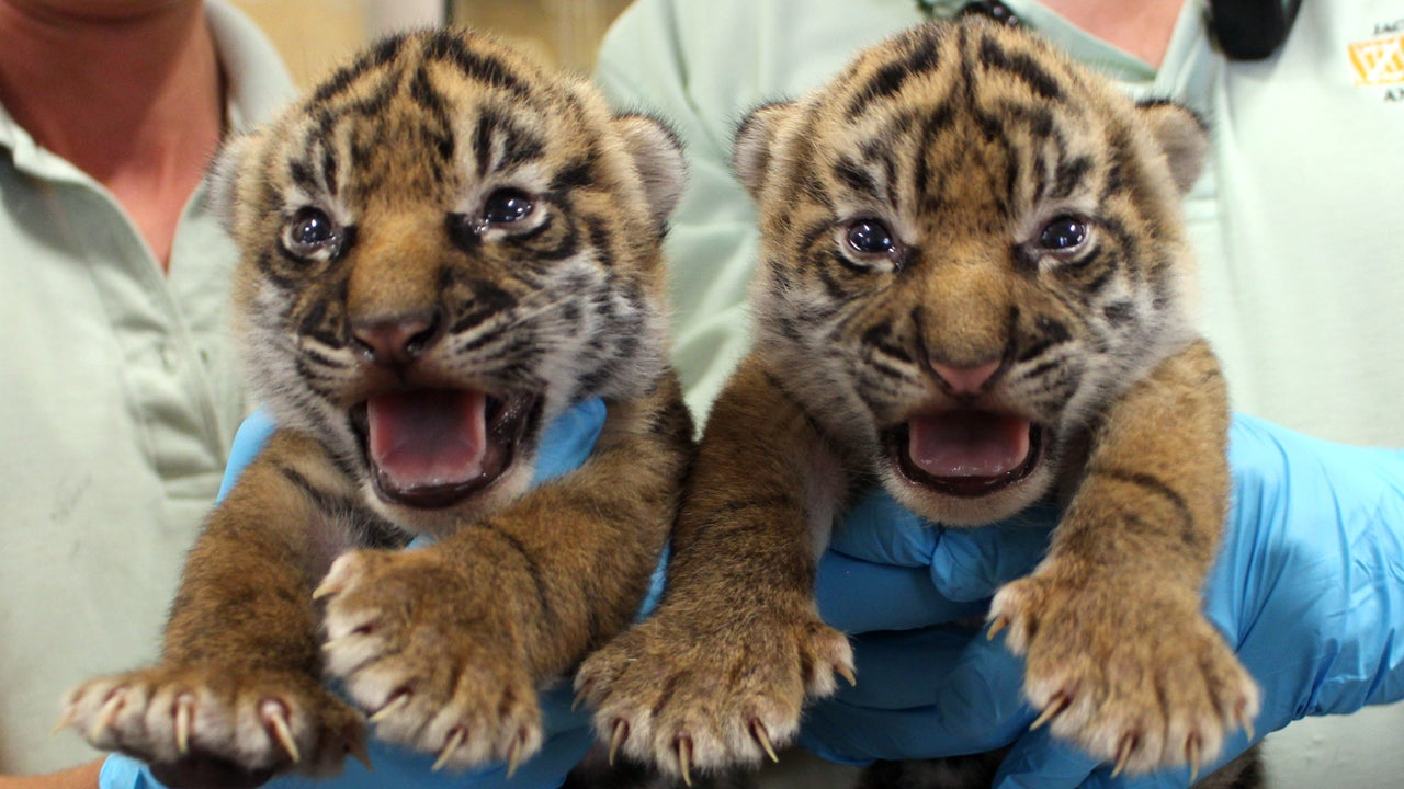 Critically Endangered Twin Tiger Cubs Thriving At Zoo
