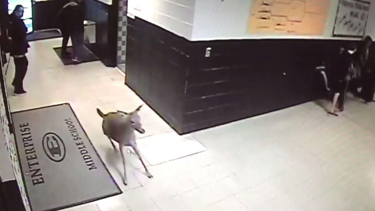 Late For Class Deer Seen Running Through Hallways Of