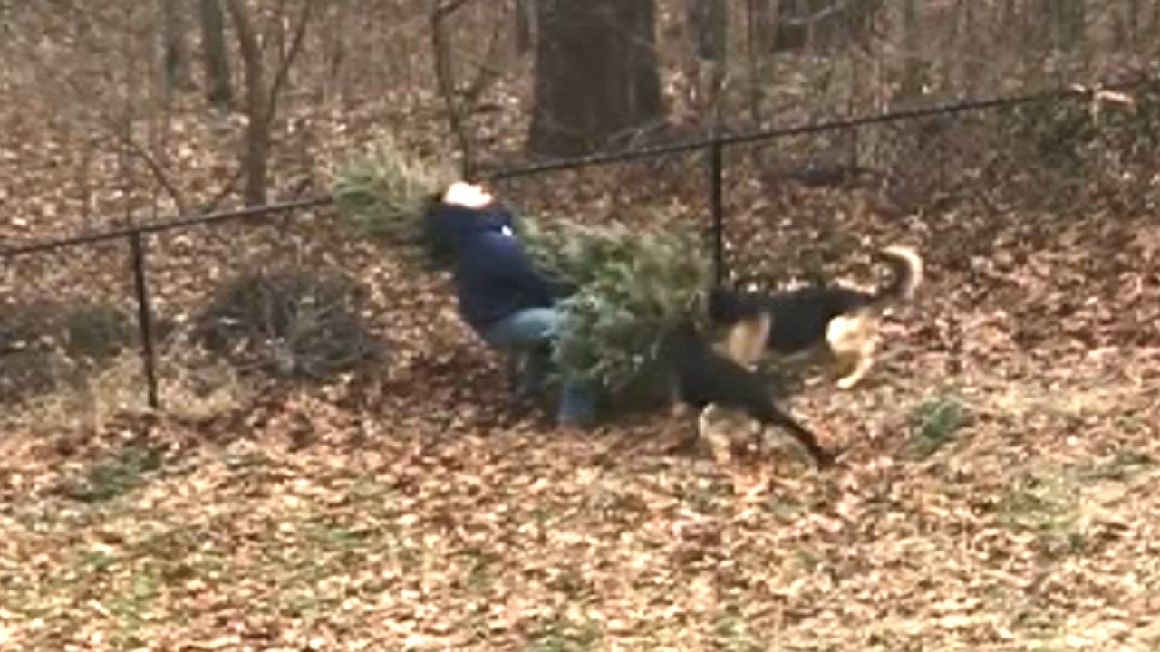 Dogs Try To Stop Dad From Throwing Out Christmas Tree