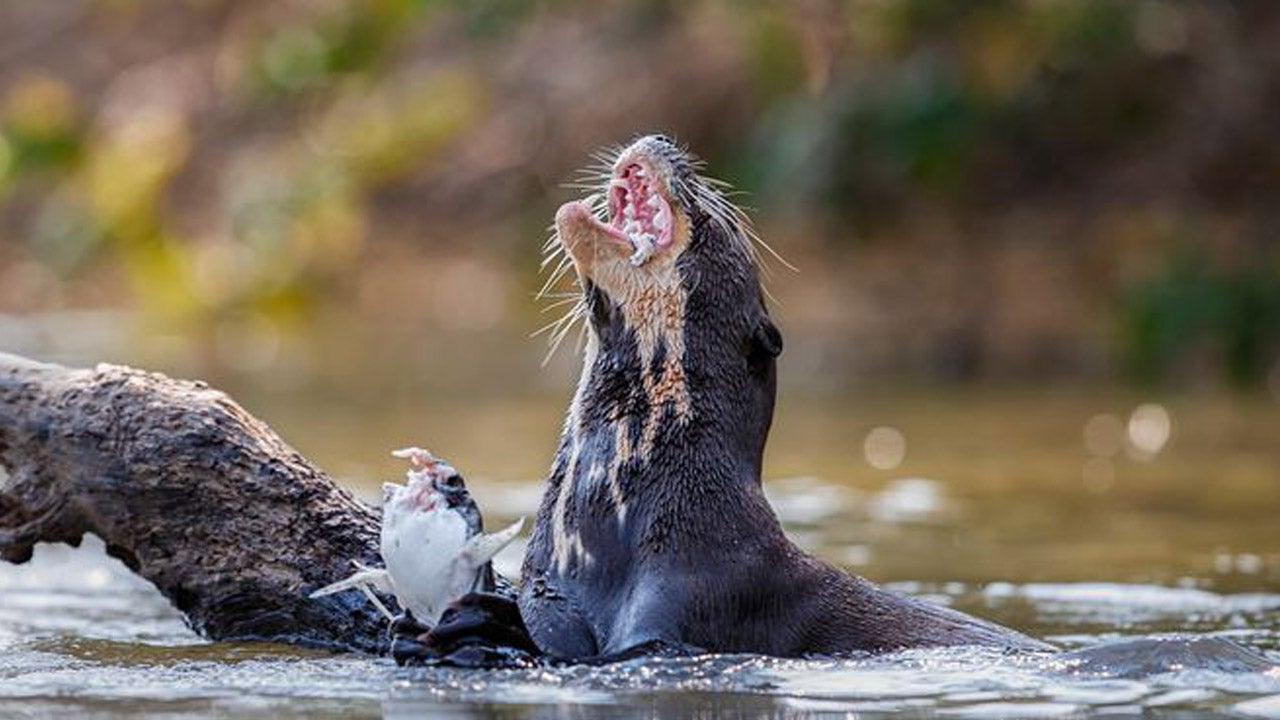 Wild Otter Attacks 77-Year-Old Woman Kayaking on Florida River | Inside Edition