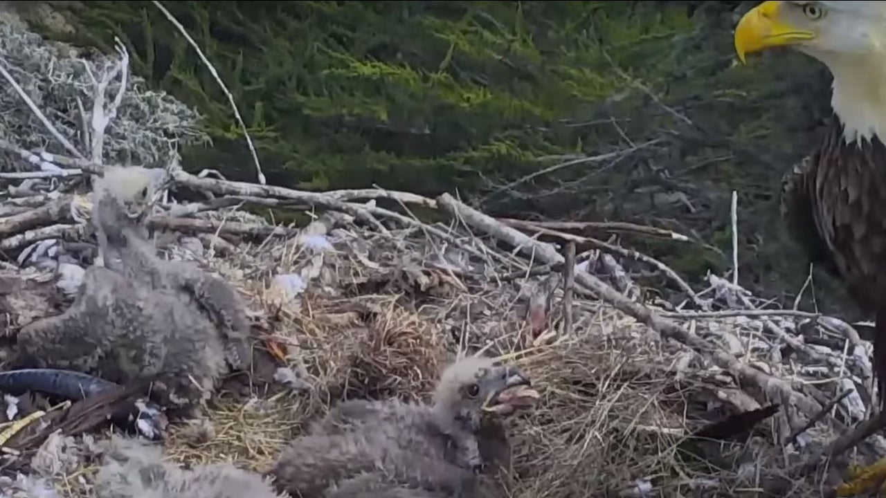 Channel Islands Eagle Cam