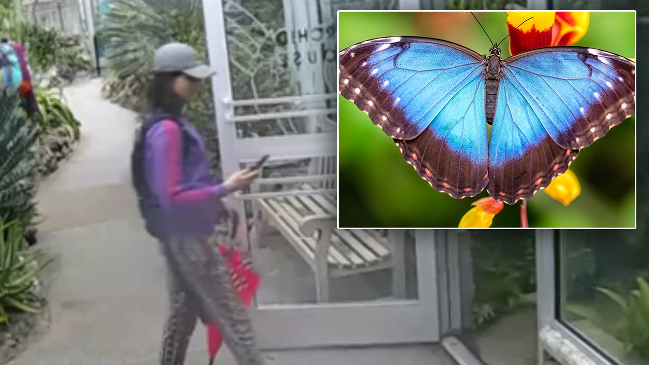 Colorful Thief Steals Exotic Butterfly From Nature