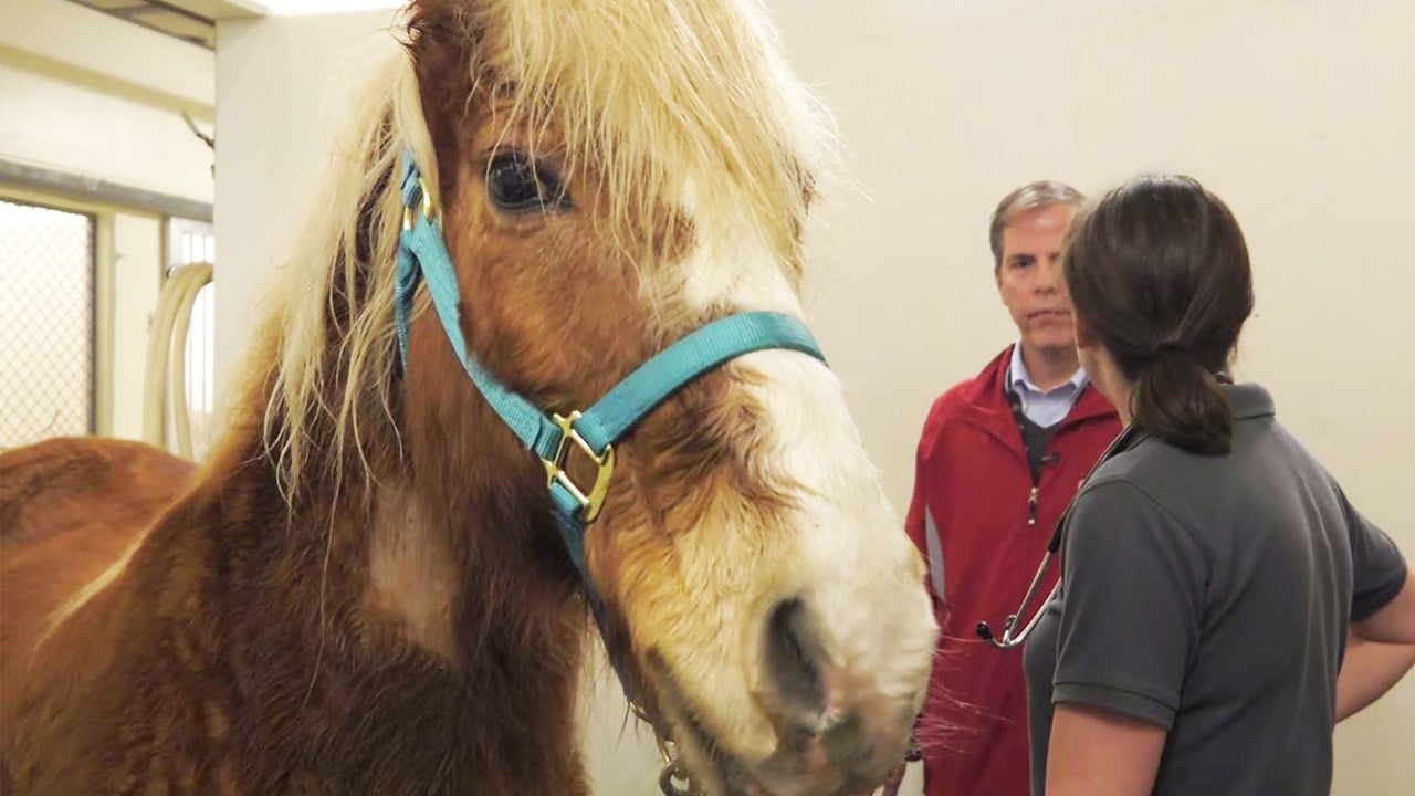 Bob the pony prepares to undergo human treatment for his blood cancer.