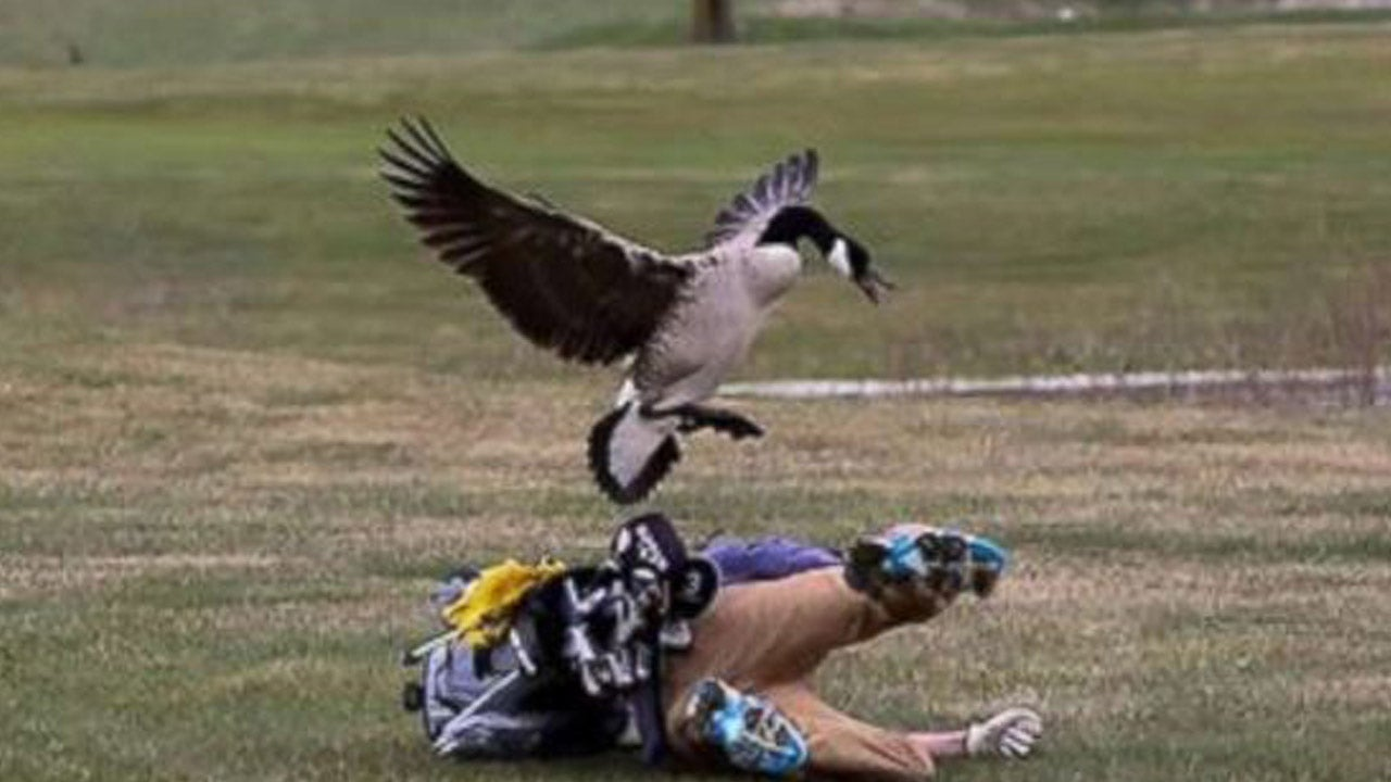 A high school golfer got dive-bombed by a goose on the fairway.