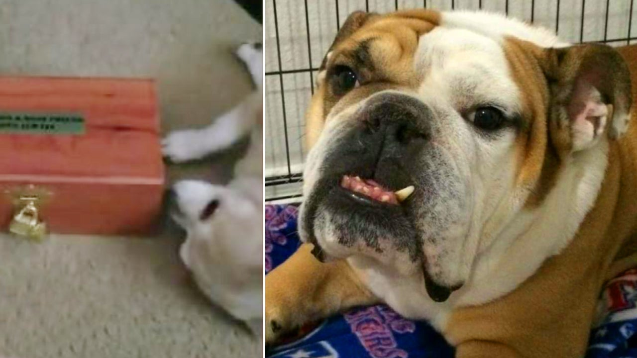 Chihuahua Cuddles With Box Containing Bulldog Best Friend's Ashes