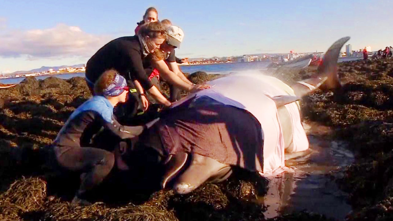 Whale Watching Guides Race to Save Beached Whales in Iceland