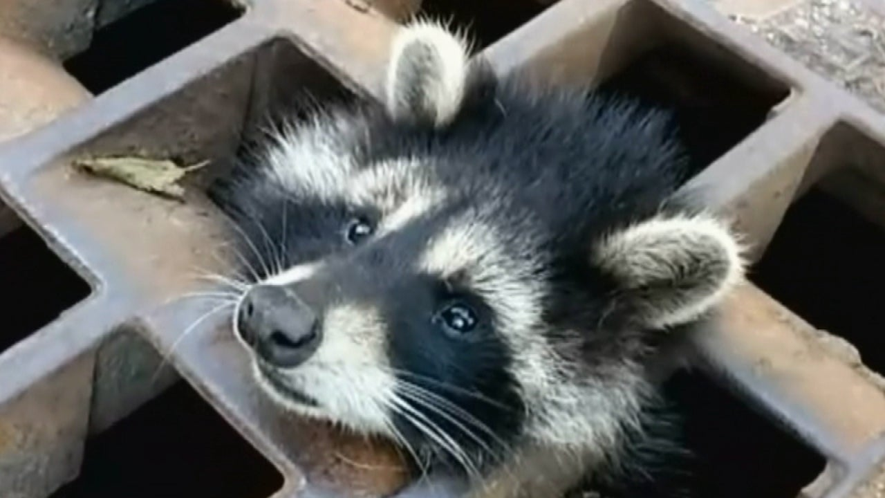Firefighters Help Raccoon With Tin Can Stuck On Its Head