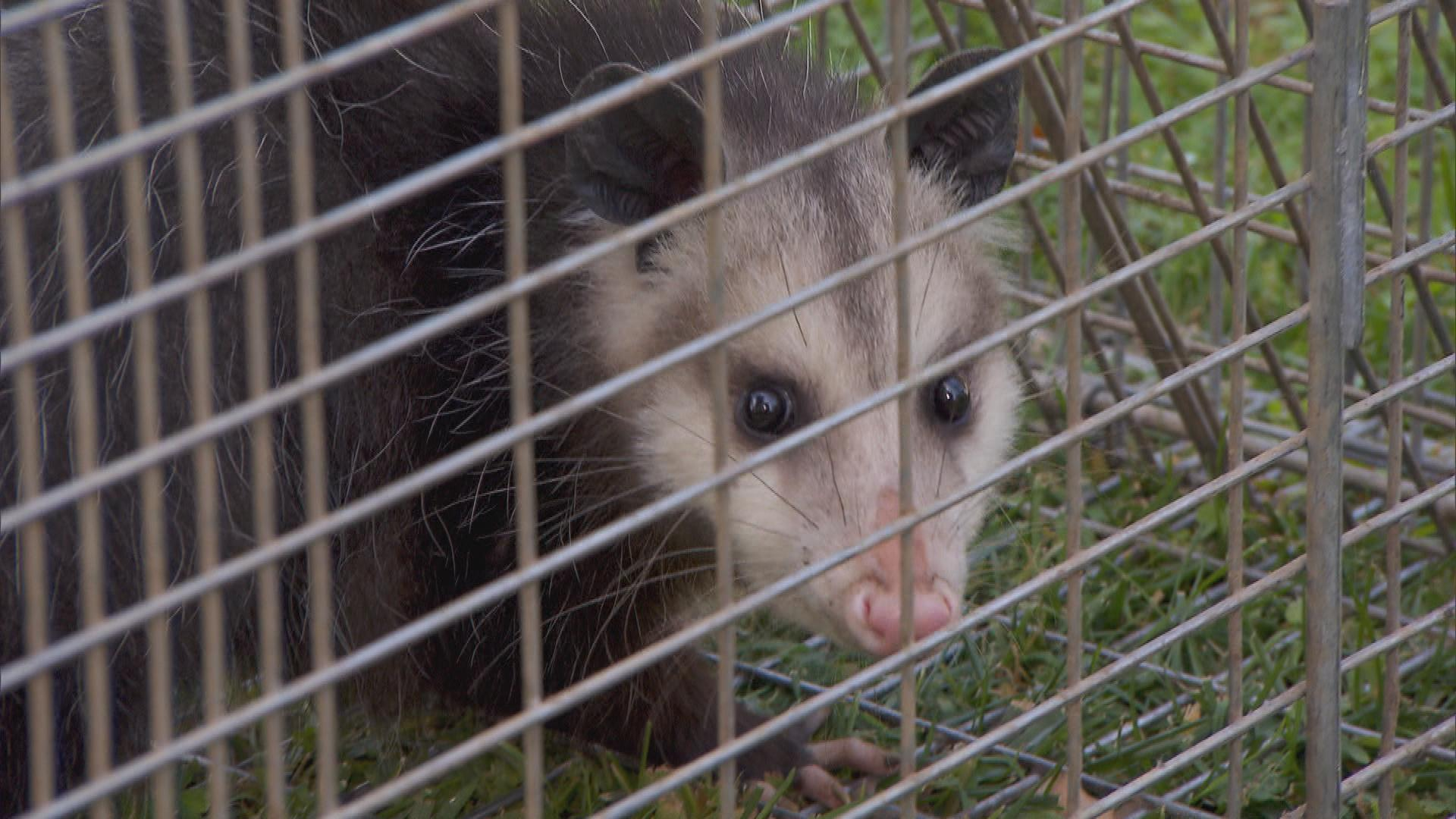 How To Get Rid Of A Possum In Your Garage the dangers of opossums popping up in big cities