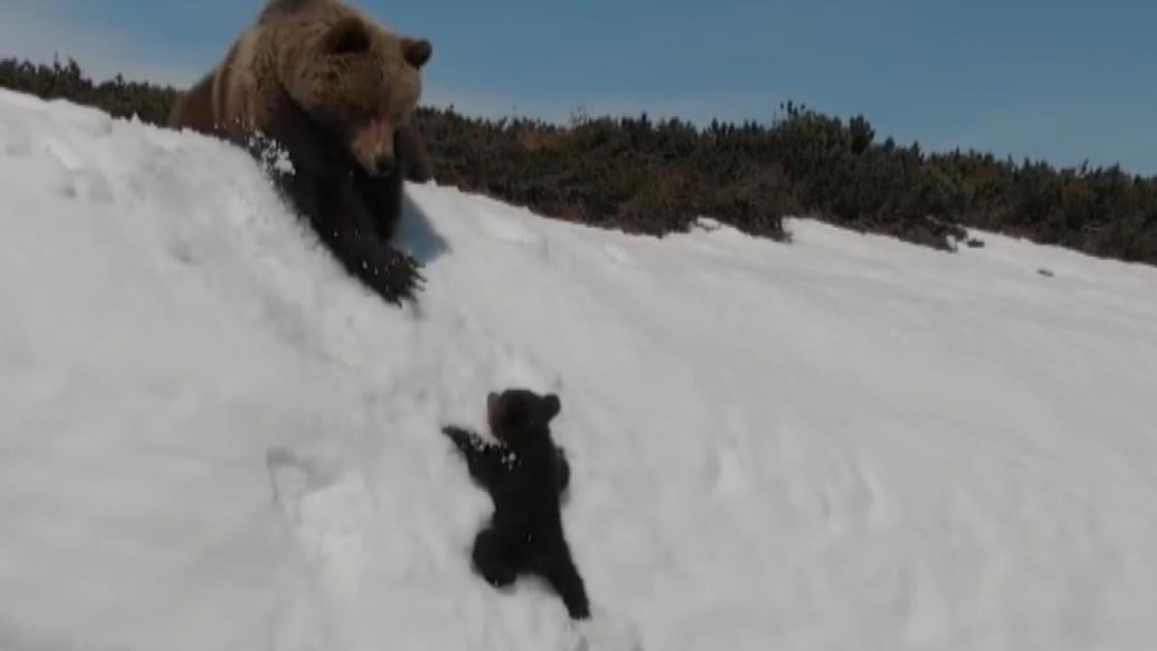 Determined Baby Bear Climbs Steep Mountain to Reunite With ...
