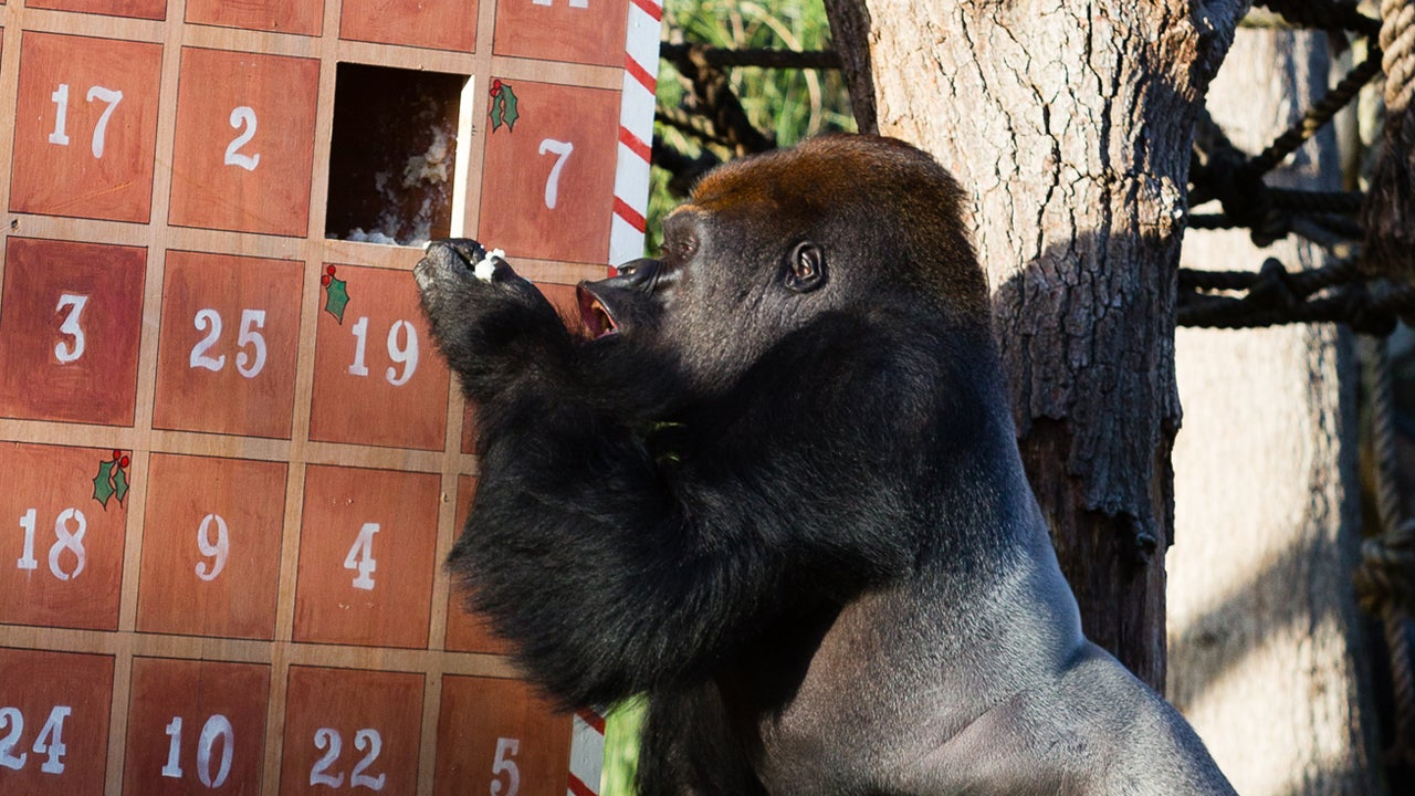 Gorillas Open Advent Calendar As Zoo Animals Get In The