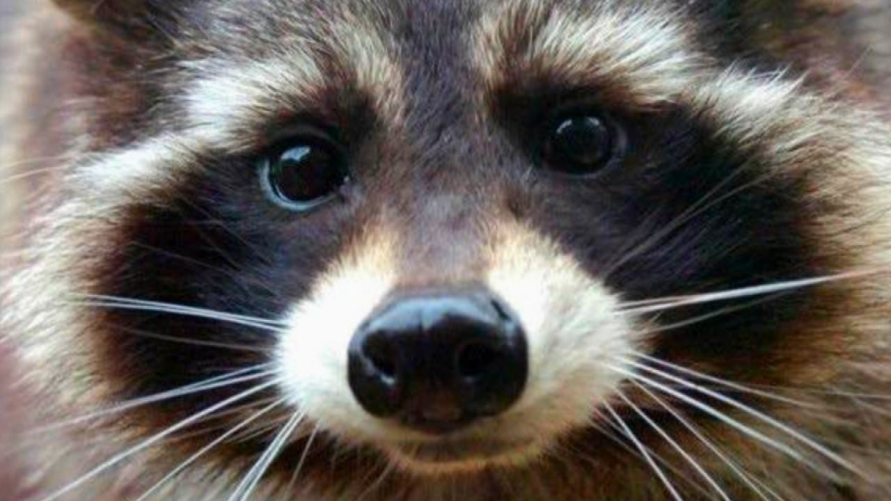Oreo The Real Life Raccoon Behind Guardians Of The