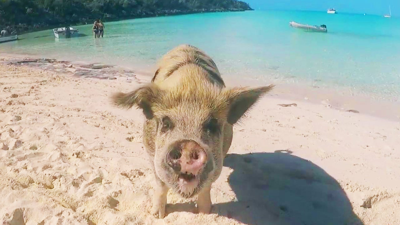 Model Attacked by Pig at Famed Bahamas Beach | Inside Edition