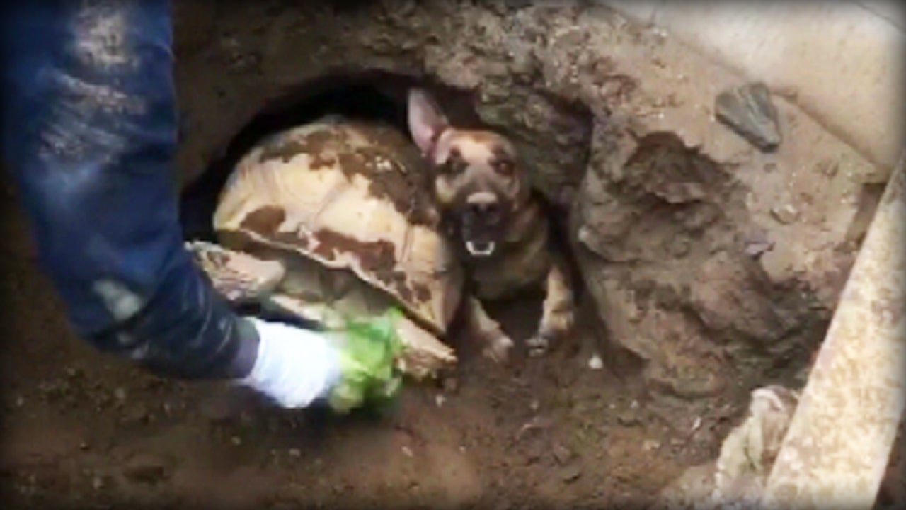 Firefighters Free German Shepherd, Tortoise Trapped in