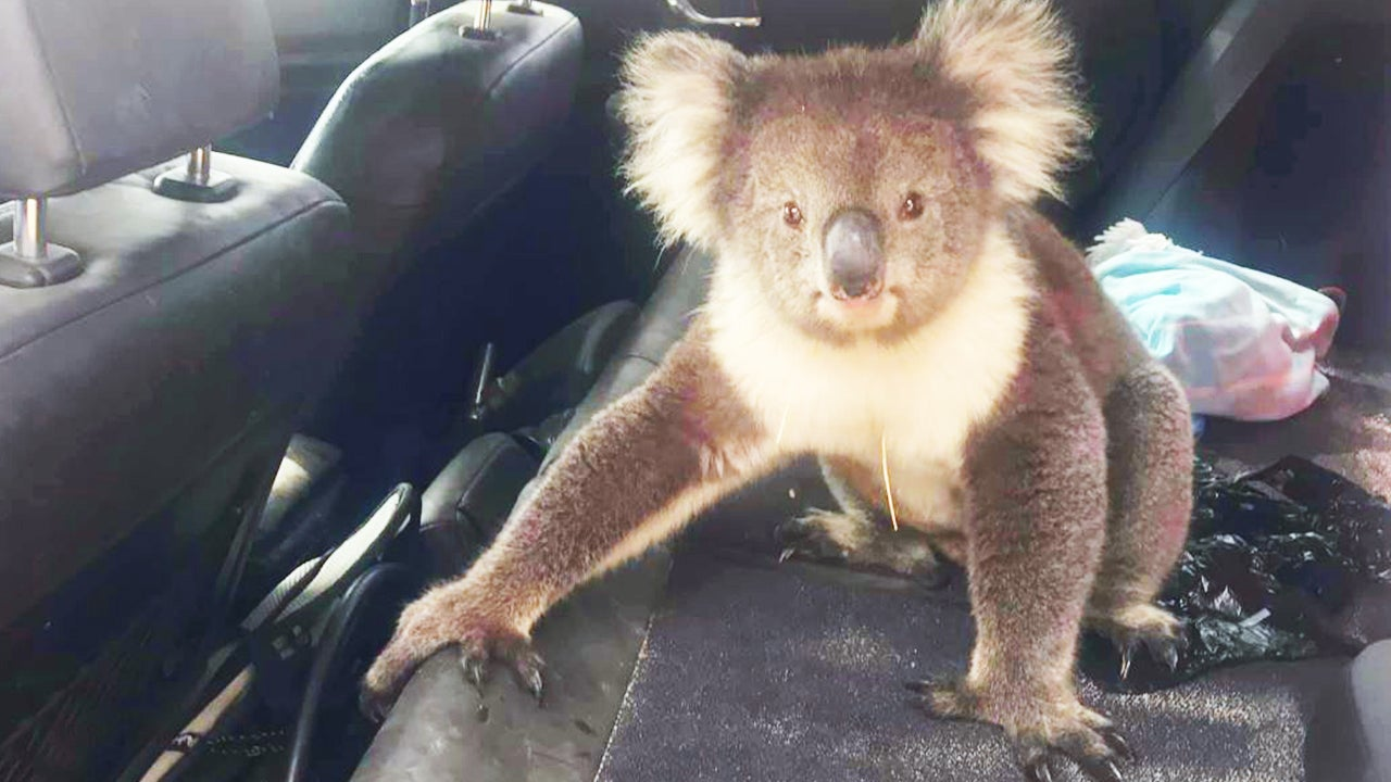 Koala Bear Won U0026 39 T Leave Air