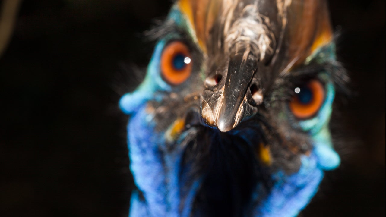 Old Man Emu >> 'World's Most Dangerous Bird' Kills Florida Man on His ...