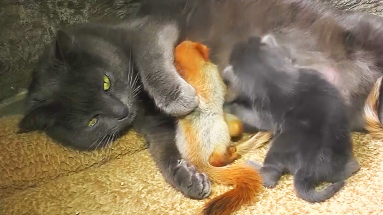 Mama Cat Adopts 4 Baby Squirrels And Raises Them With Her