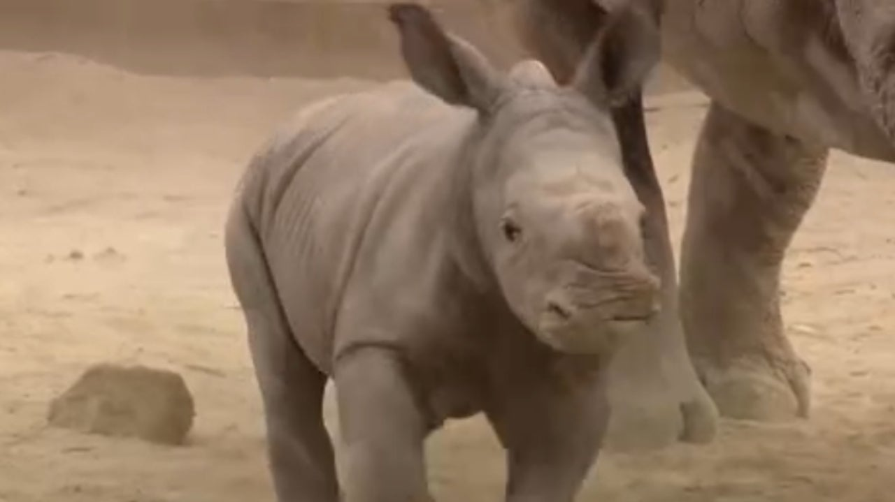 Rare White Rhino Calf Is Thriving at San Diego Zoo, Giving Hope for Species
