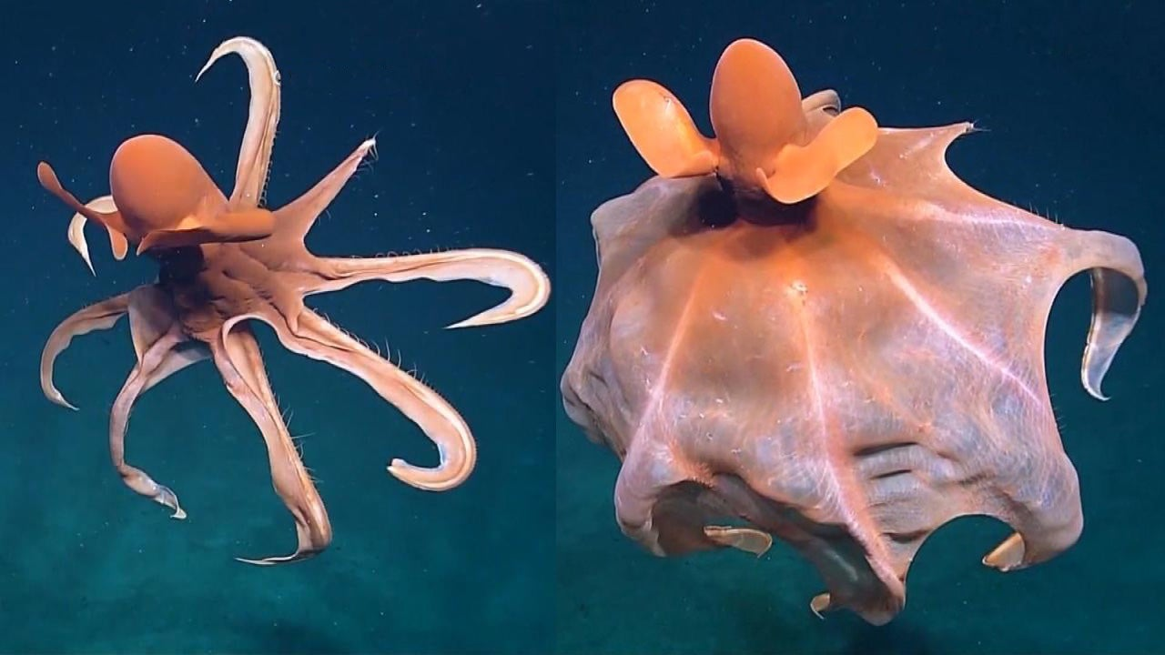 Beautiful 'Dancing' Octopus Puts on Show for Scientists in Pacific Ocean
