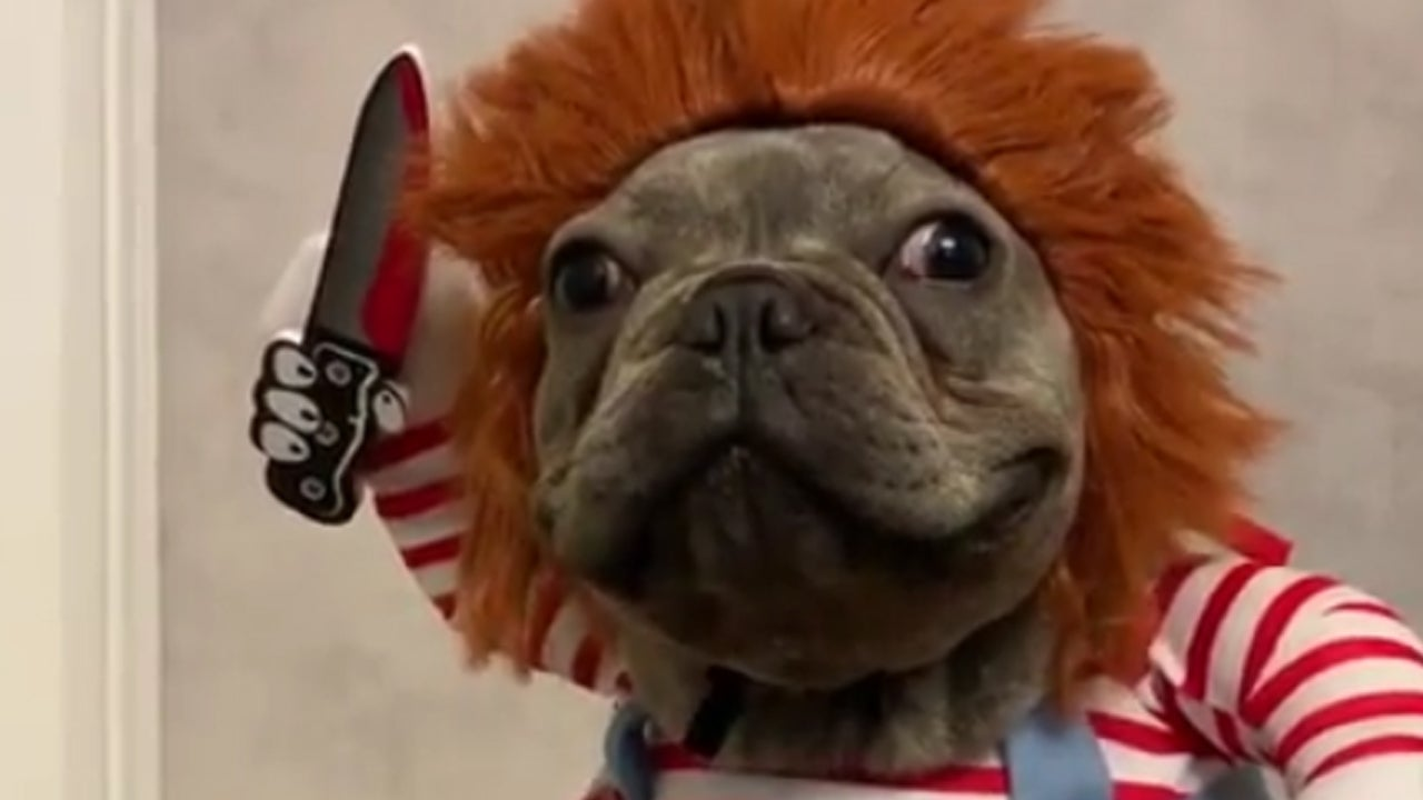 Hilarious Video Shows French Bulldog Dressed as 'Chucky' Doll