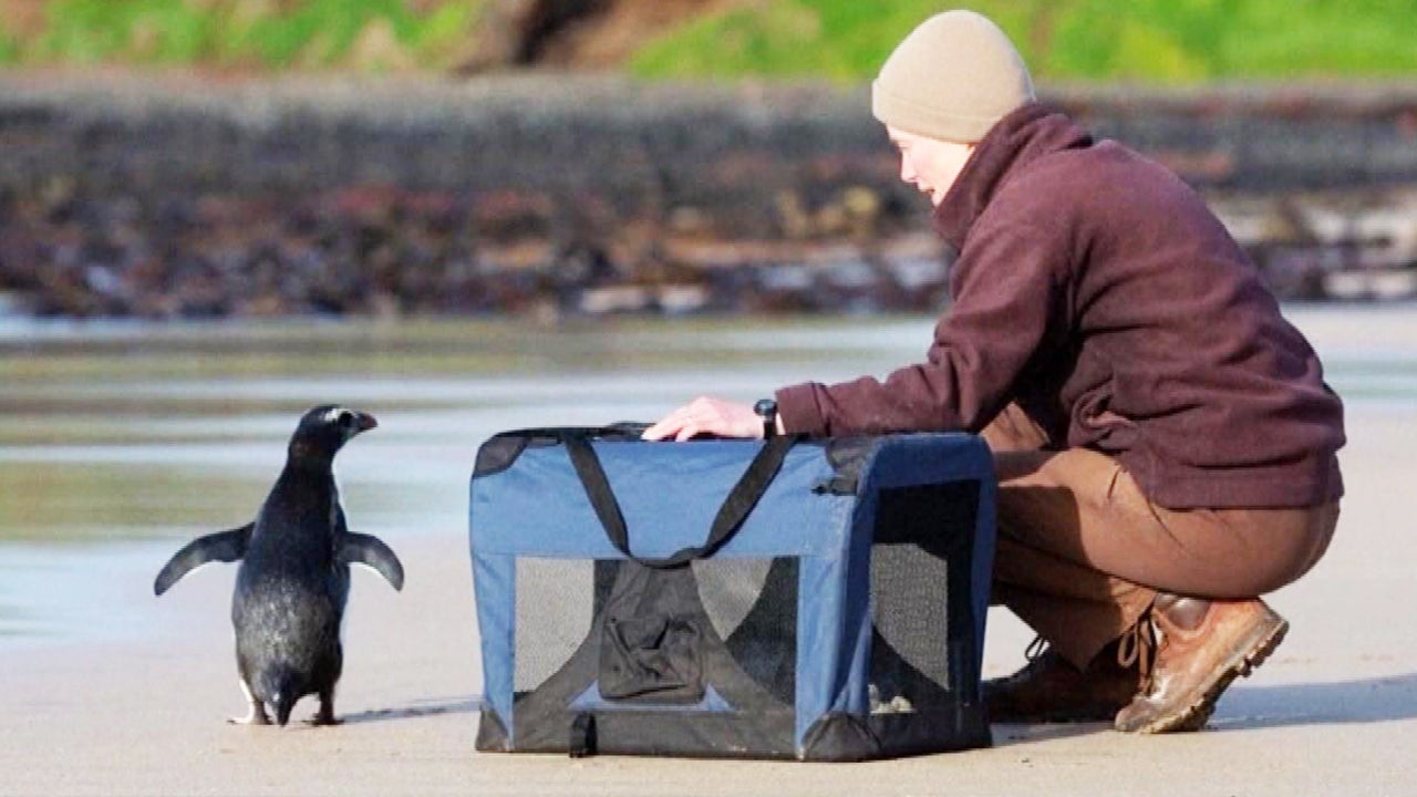 Penguin That Traveled 1,500 Miles Released Back Into the Ocean After Rehabilitation