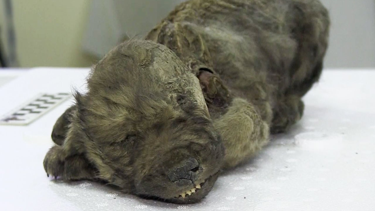 Meet Dogor, the 18,000-Year-Old Prehistoric Puppy with Fur Scientists Found Beneath Russia's Permafrost