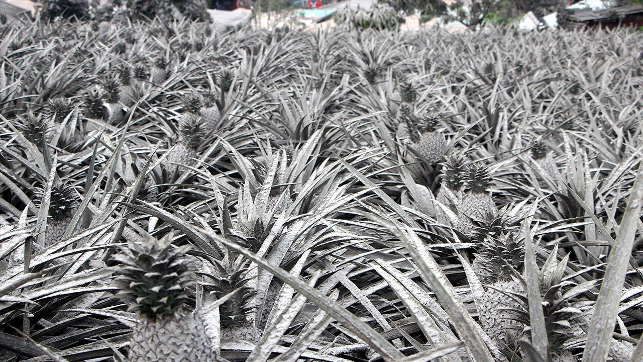 Why Pineapples in This Filipino Town Are Now Gray
