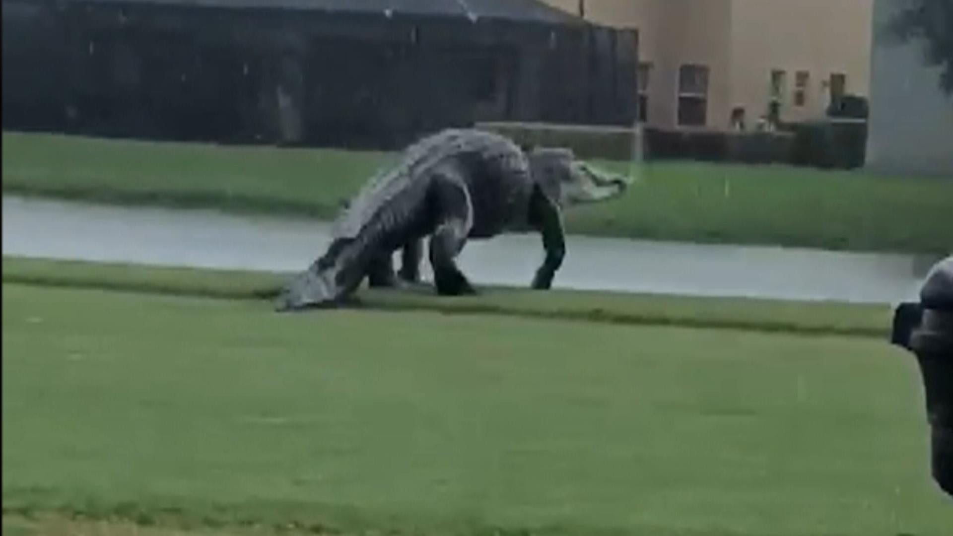 Massive Alligator Walking on Florida Golf Course Is Very ...