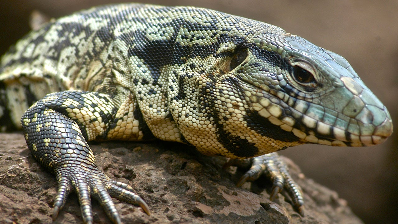 Dog-Sized Lizards Are Spreading Across Southern United States, Sparking Concern About Impact to Ecosystems