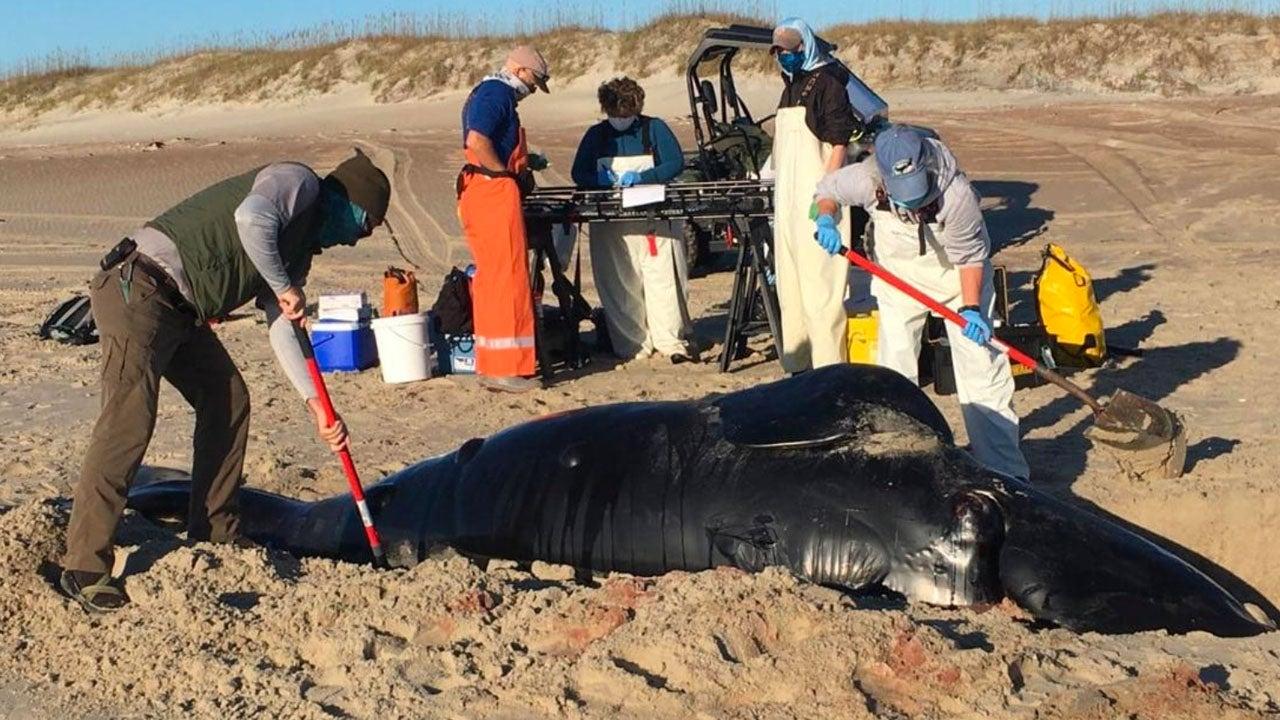 Body of Rare North Atlantic Right Whale Calf Washes Up Ashore in North Carolina