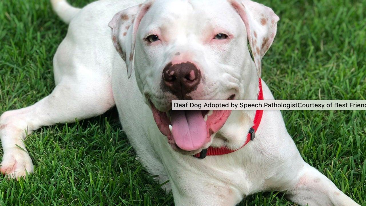 Deaf Dog Learning Sign Language After Being Rescued By Speech Pathologist