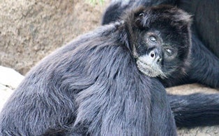 Texas Woman Feeding Hot Cheetos to Spider Monkey Inside El Paso Zoo Enclosure Fired From Job at Law Firm
