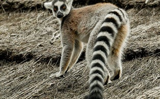 California Man Charged in Alleged Kidnapping of Endangered Lemur From San Francisco Zoo