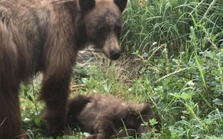Grieving Mama Bear at Yosemite Won't Leave Her Baby's Side When Cub Gets Hit and Killed by Speeding Car
