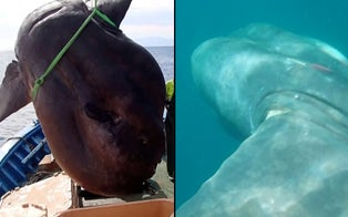 Marine Biologists Discover Enormous Sunfish Caught in Fishing Net in the Mediterranean Sea