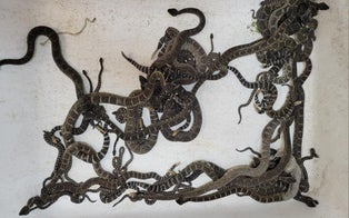 Woman Discovers More Than 90 Snakes Were Living Underneath Her California Home