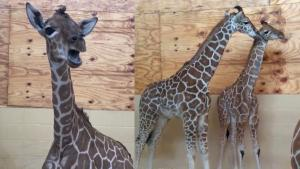 Baby Giraffe 'Moos' to Mom for Help Before Seeing the Vet