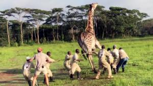 Watch Rescuers Save Giraffe Choking on Metal Wire Around its Neck